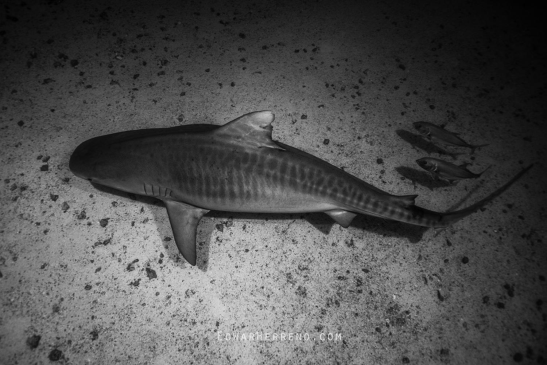 Tiger Shark - Manuelita