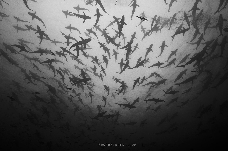 Silky Sharks - Malpelo