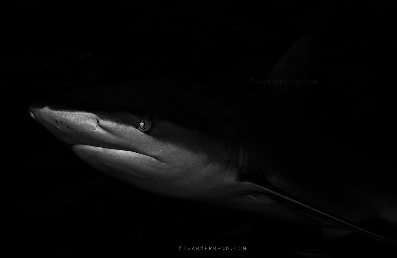 Galapago Shark - Manuelita