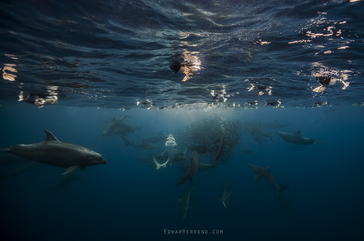 Bottlenose Dolphin, Silky, Black Tip & Galapago Sharks, Yellow Fin Tuna and Boobys Feeding on a Ball of Fish