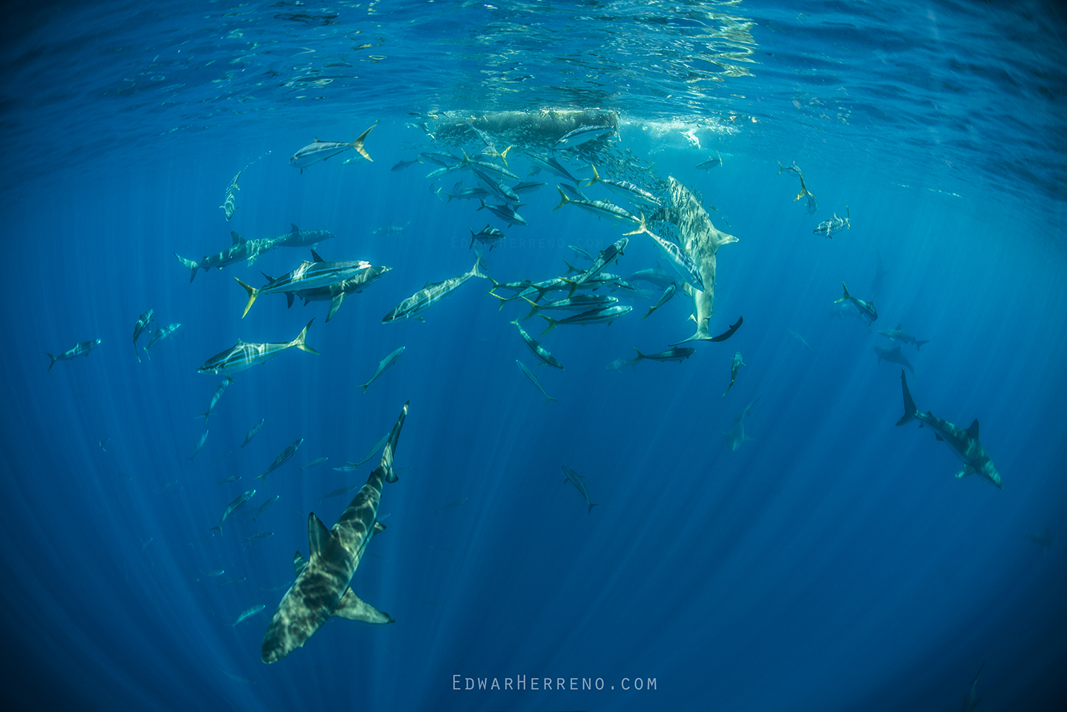 Bottlenose Dolphins, Silky, Black Tip & Galapago Sharks, Yellow Fin Tuna and Boobys Feeding on a Ball of Fish