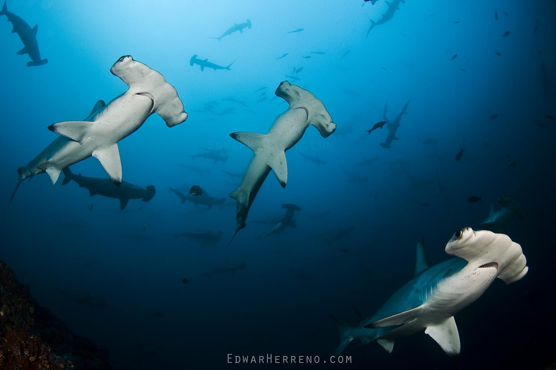 Scalloped Hammerheads Sharks - Alcyone