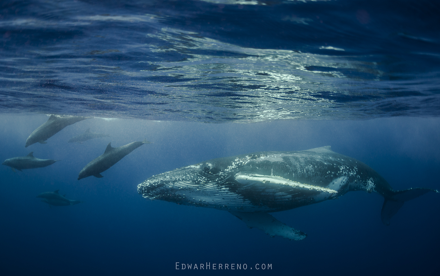 Bottlenose Dolphins escorting a Humpback Whale