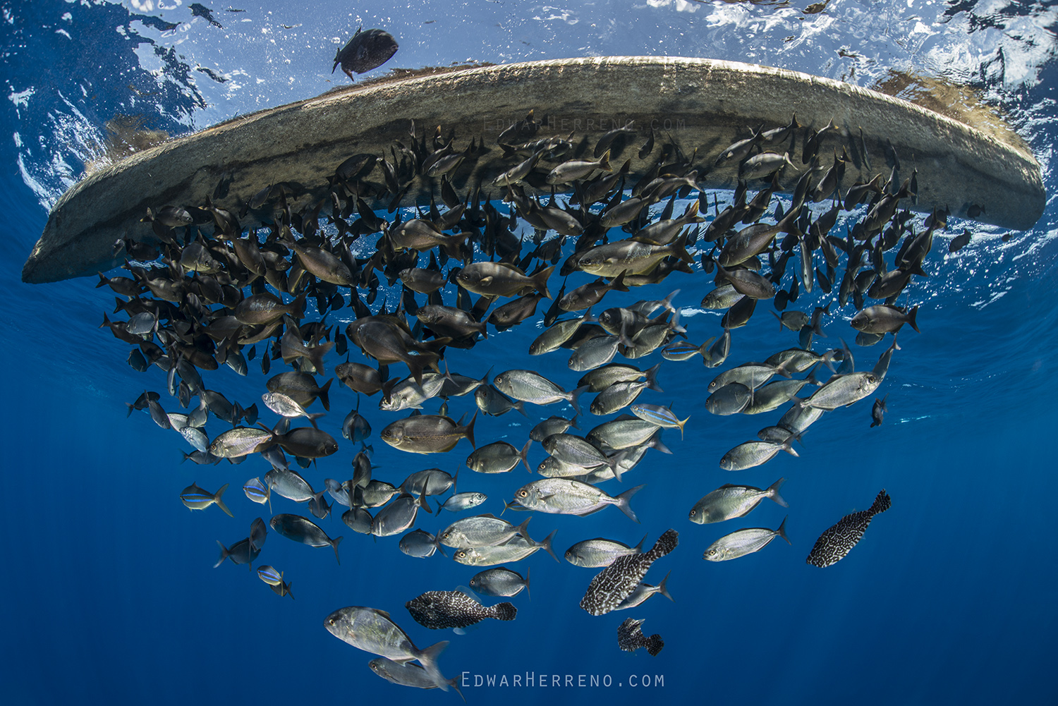 Pelagic Fish Under a Log Drifting in the Eastern Pacific