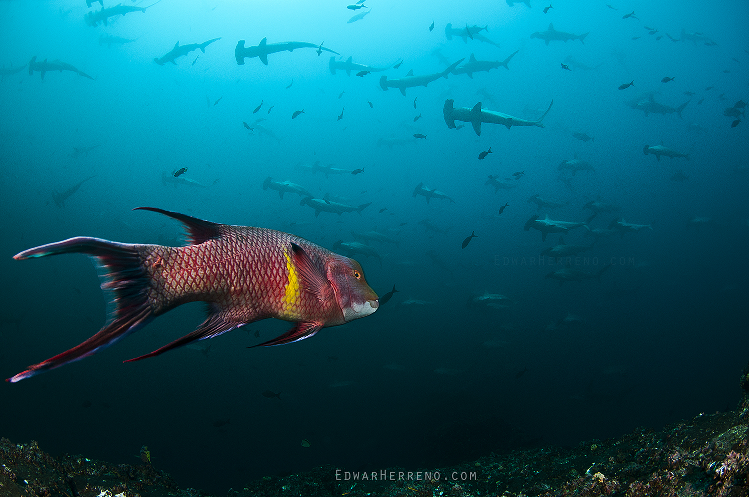 Mexican Hogfish - Alcyone