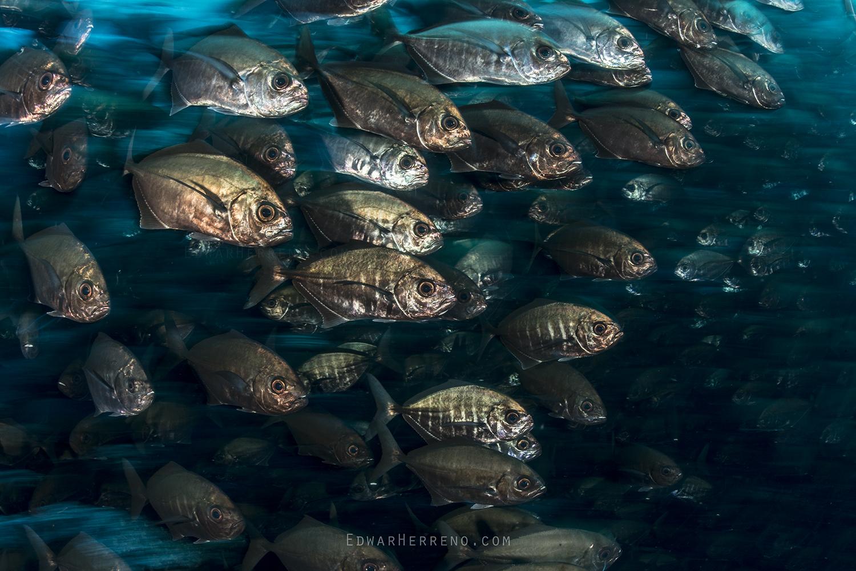 White Cottonmouth Jack - Submerged Rock