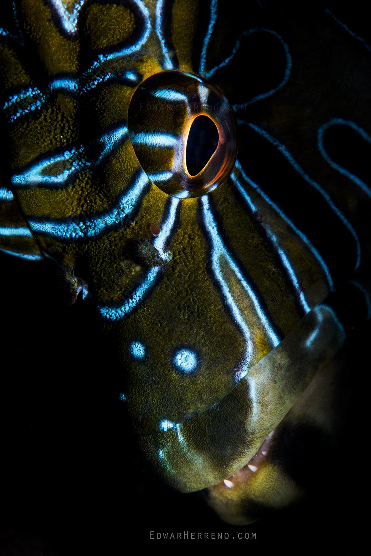 Giant Hawkfish - Papagayo Gulf