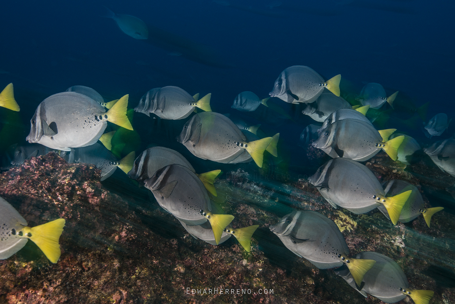 Yellow Tail Surgeonfish - Cocos Island