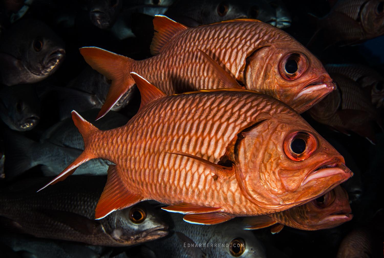 Cardenal Fish - Dirty Rock