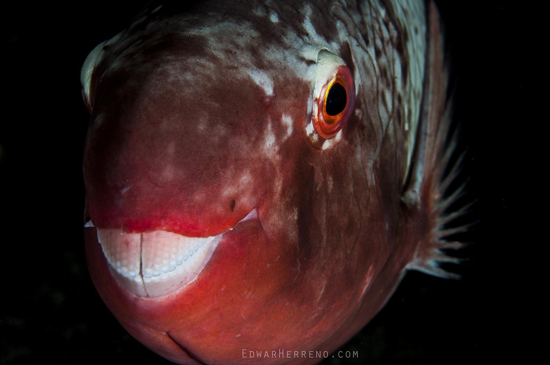 Female Parrotfish - Chatam Bay