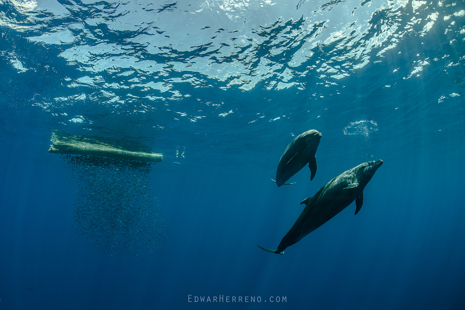 Bottlenose Dolphins - Cocos Island