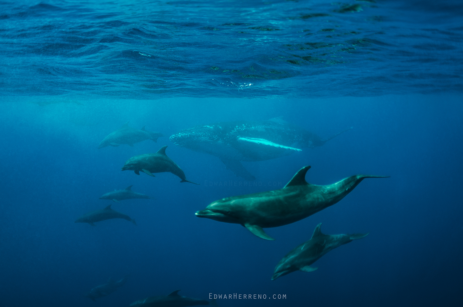 Bottlenose Dolphins Escorting a Humpback Whale - Cocos Island