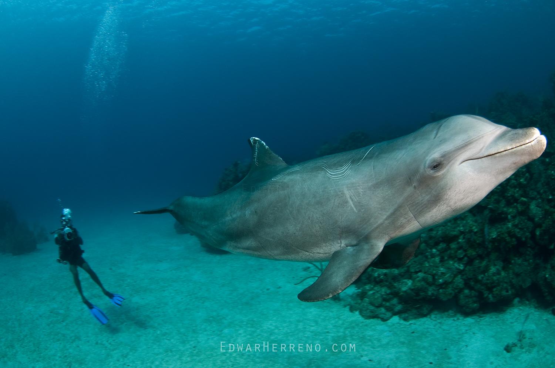 Bottlenose Dolphin - Honduras