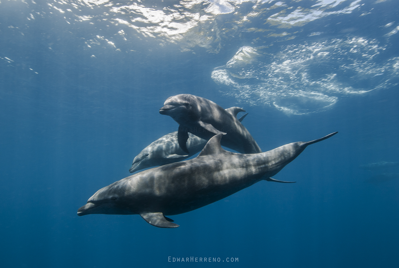 Bottlenose Dolphins - Malpelo