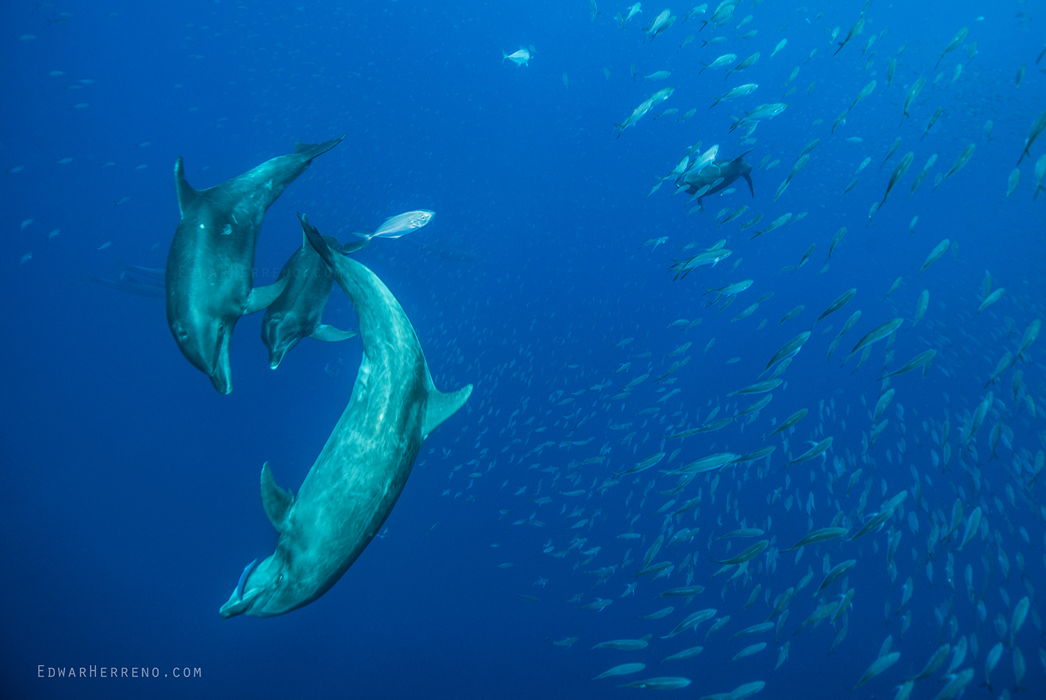 Bottlenose Dolphins Hunting - Cocos Island