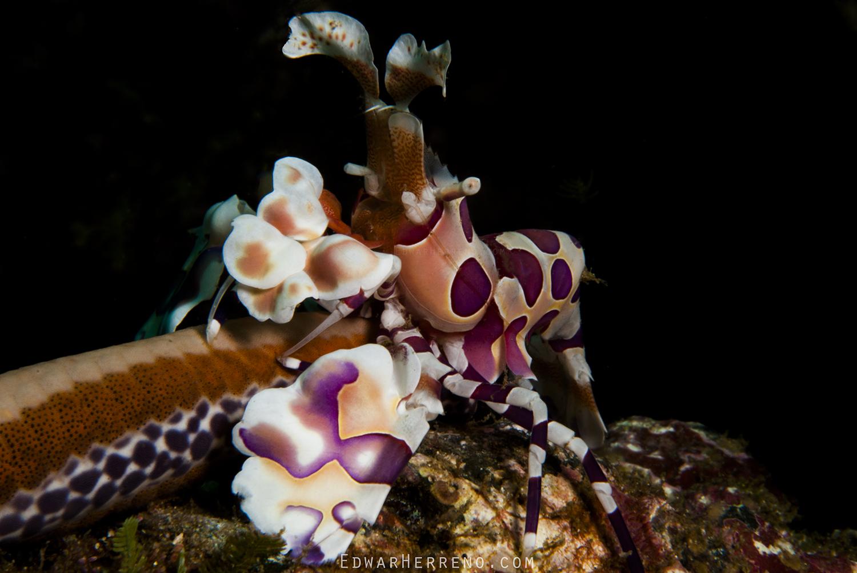 Harlequin Shrimp - Papagayo Gulf