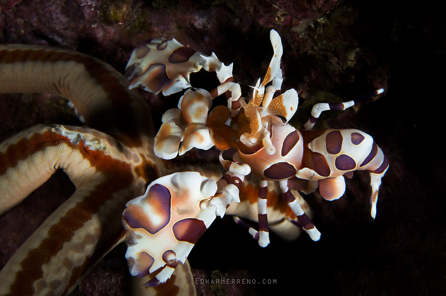 Harlequin Shrimp - Papagayo Gulf