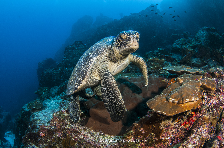 Green Turtle - Dirty Rock