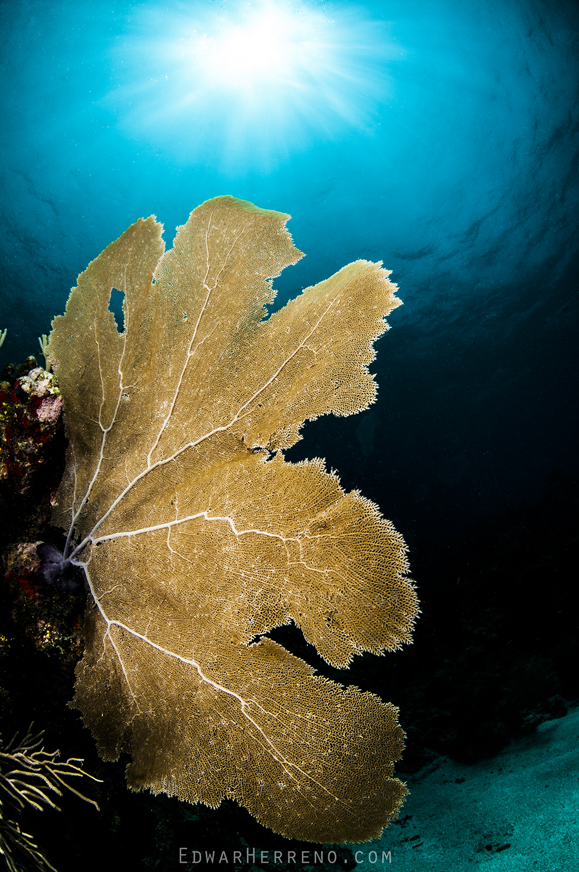 Soft Coral - Roatan