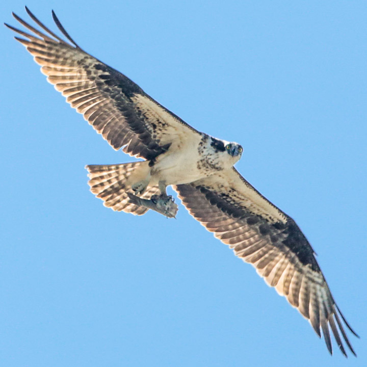 osprey_sag_harbor-9960.jpg