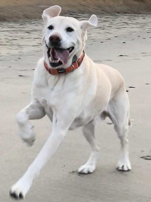 Joelle's dog, Wilbur, living it up at the beach near Half Moon Bay.