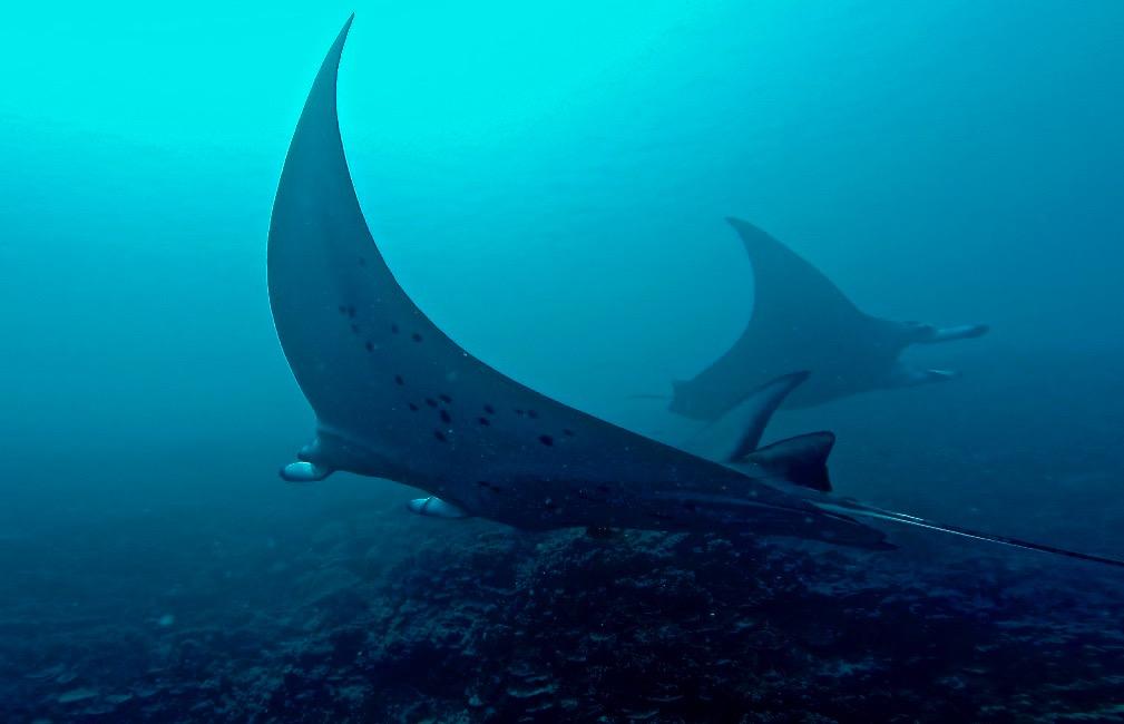 BB manta rays.jpg