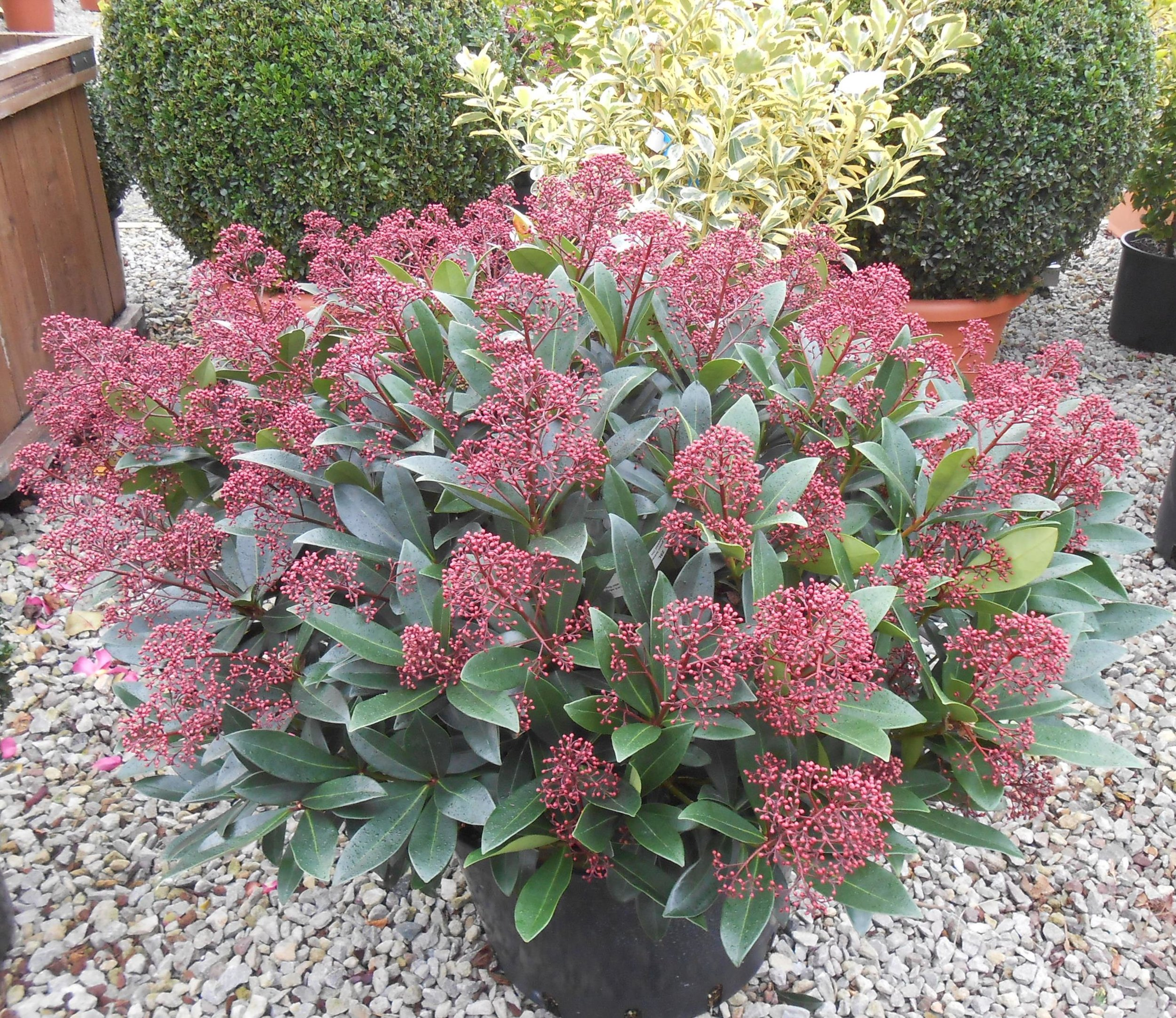 Brighten Up Your Garden This Winter With A Skimmia Japonica Anthony Dear Landscapes