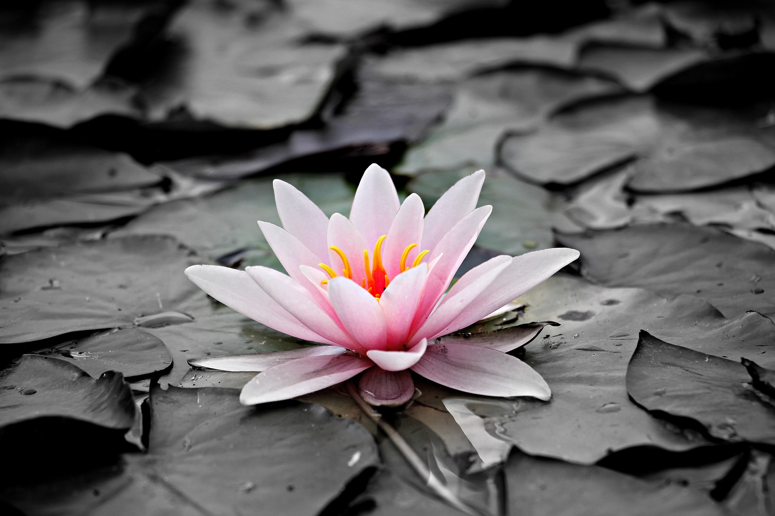 water-lily-1510707.jpg