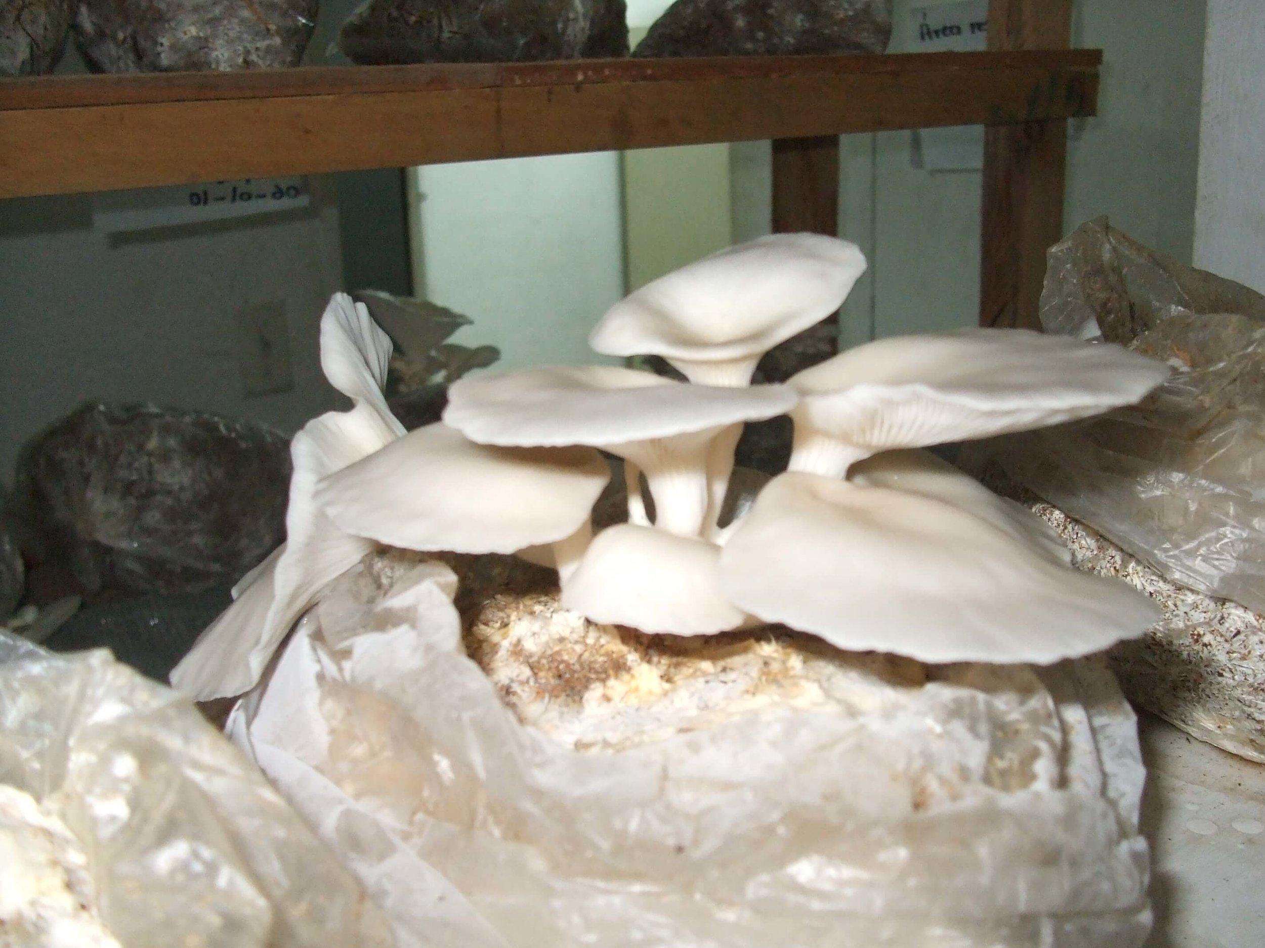 mushroom-production-3.jpg