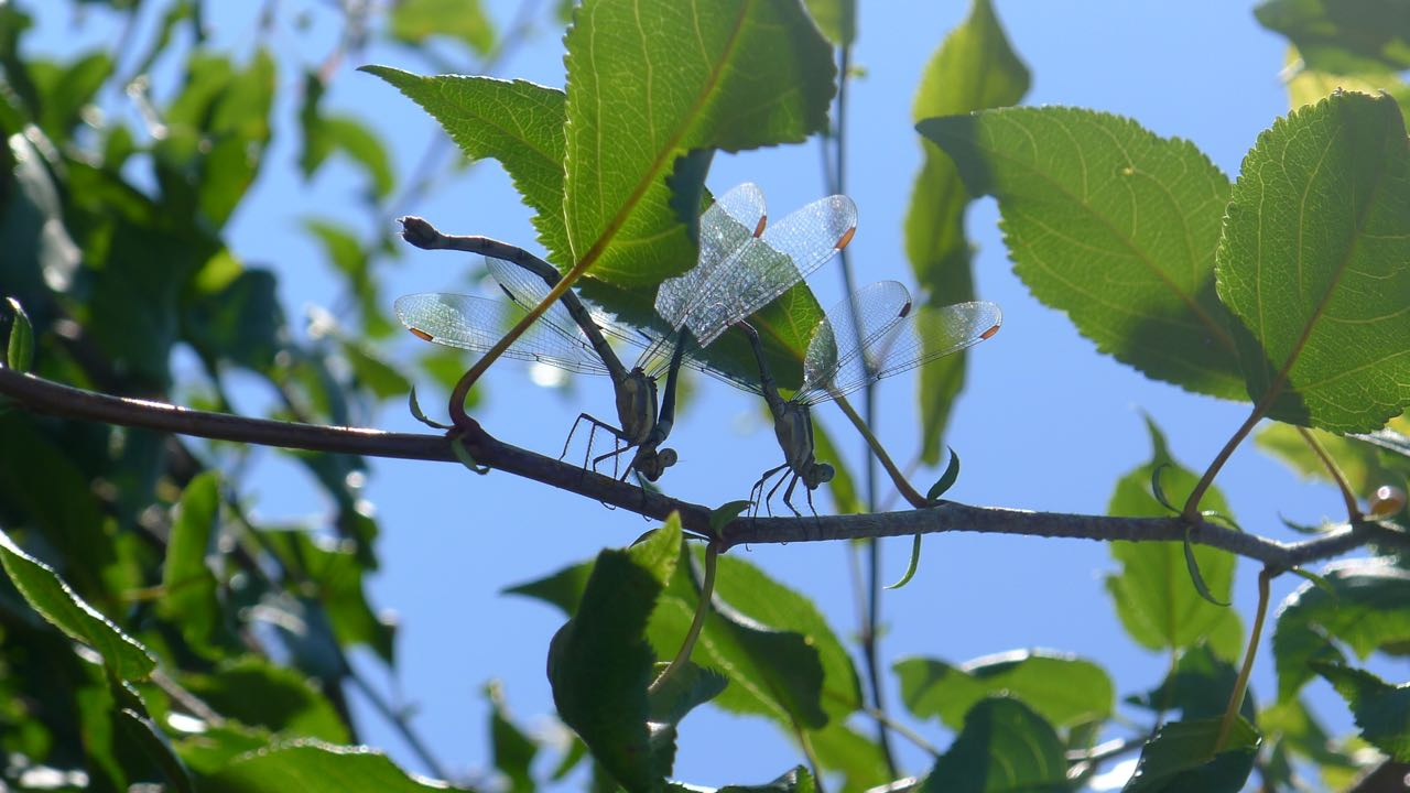 Dragonflies mating. Photo by Jenny Epstein Kessem