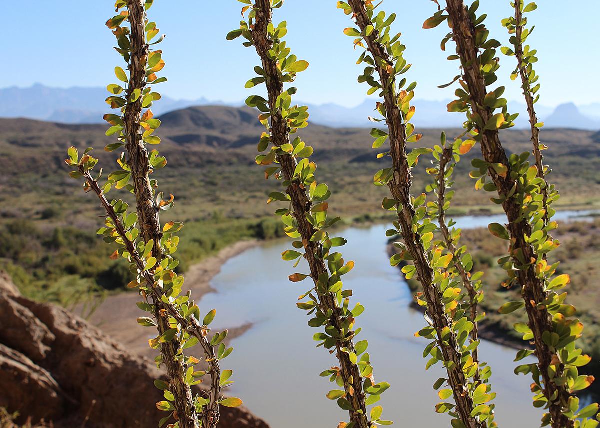 OITP Big Bend Rio Ocotillo web.jpg