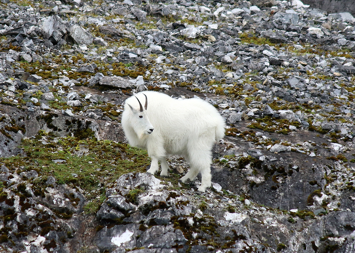 OITP Glacier Bay Mountain Goat web.jpg