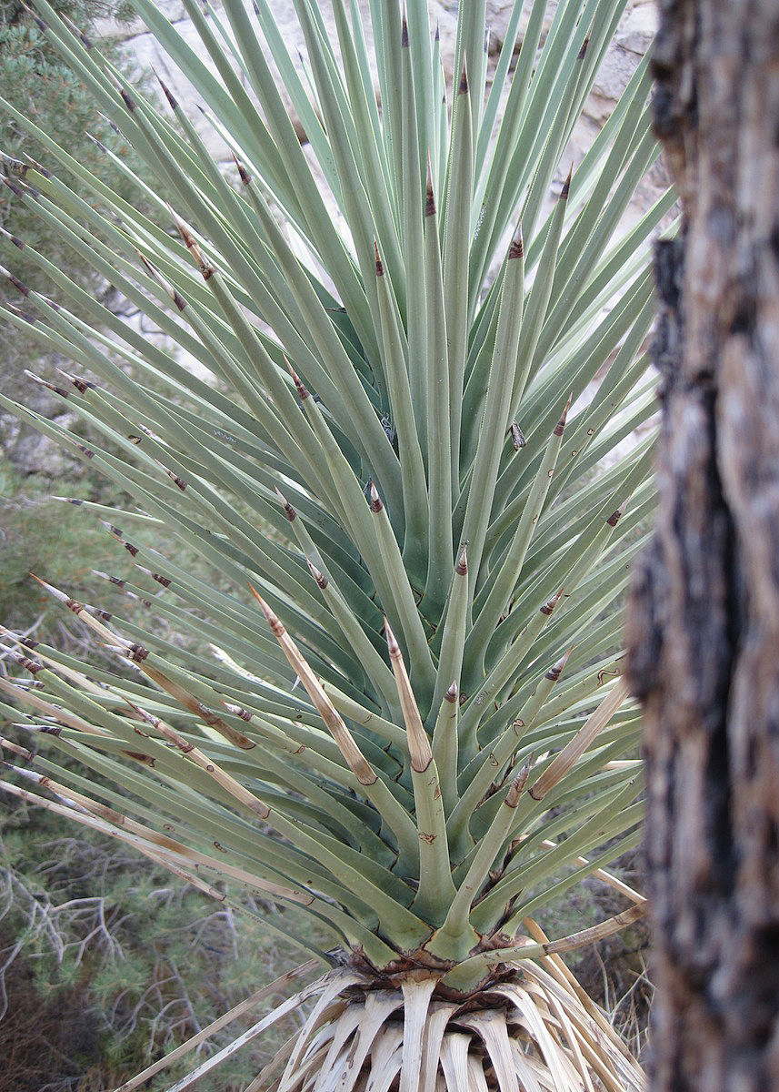 OITP Joshua Tree Yucca web.jpg