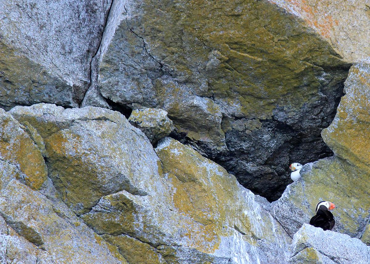 OITP Kenai Fjords Puffins web.jpg