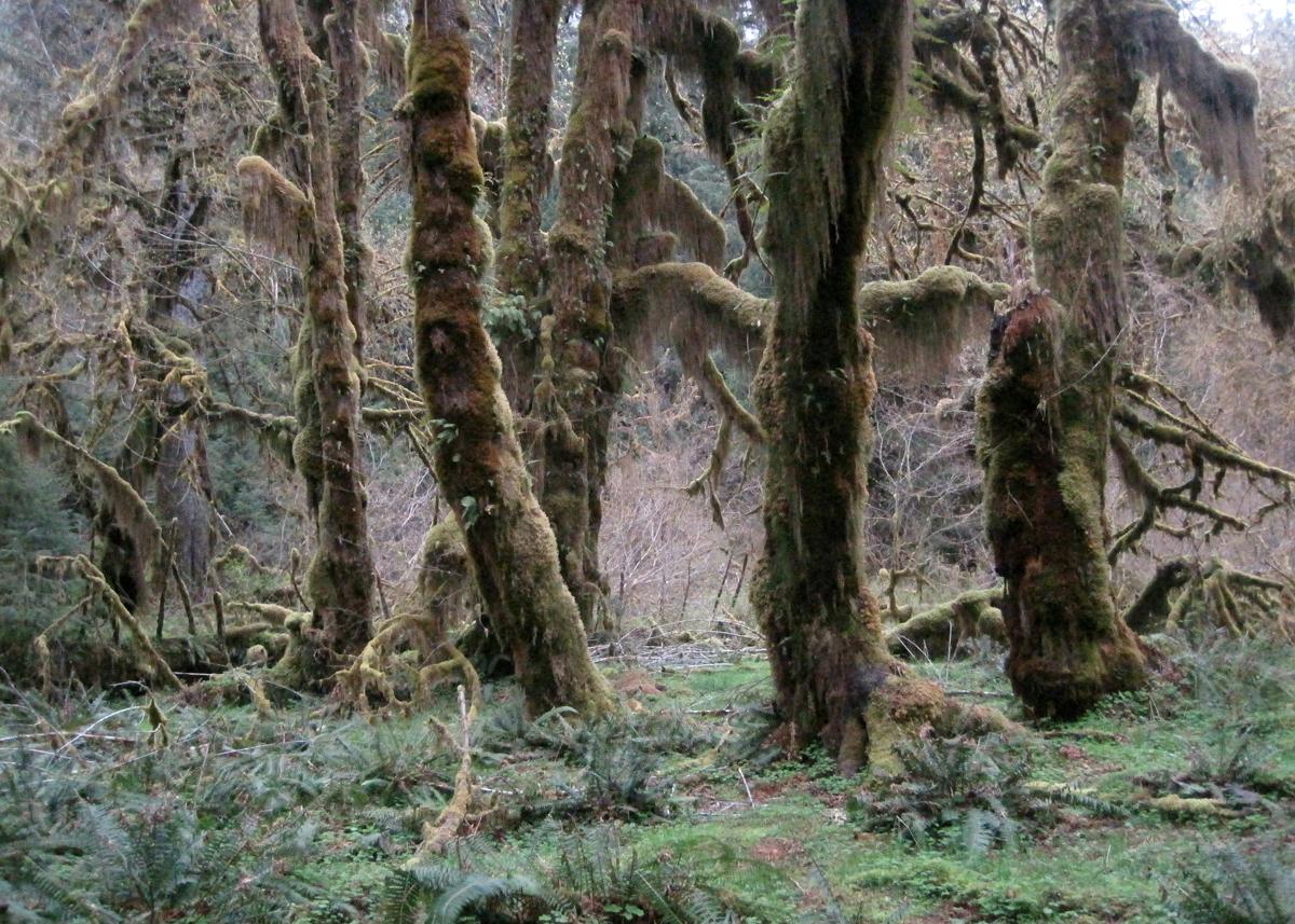 OITP Olympic Hoh Trees web.jpg
