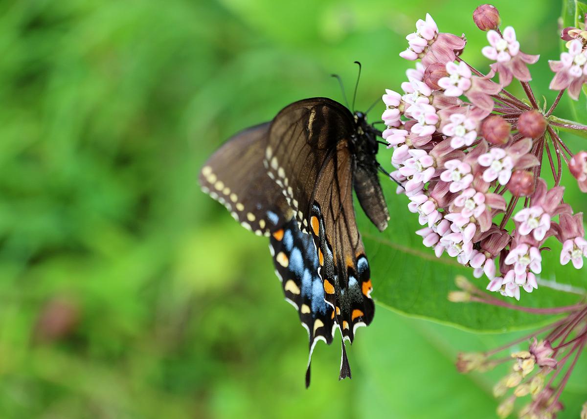 OITP Shenandoah Swallowtail web.jpg