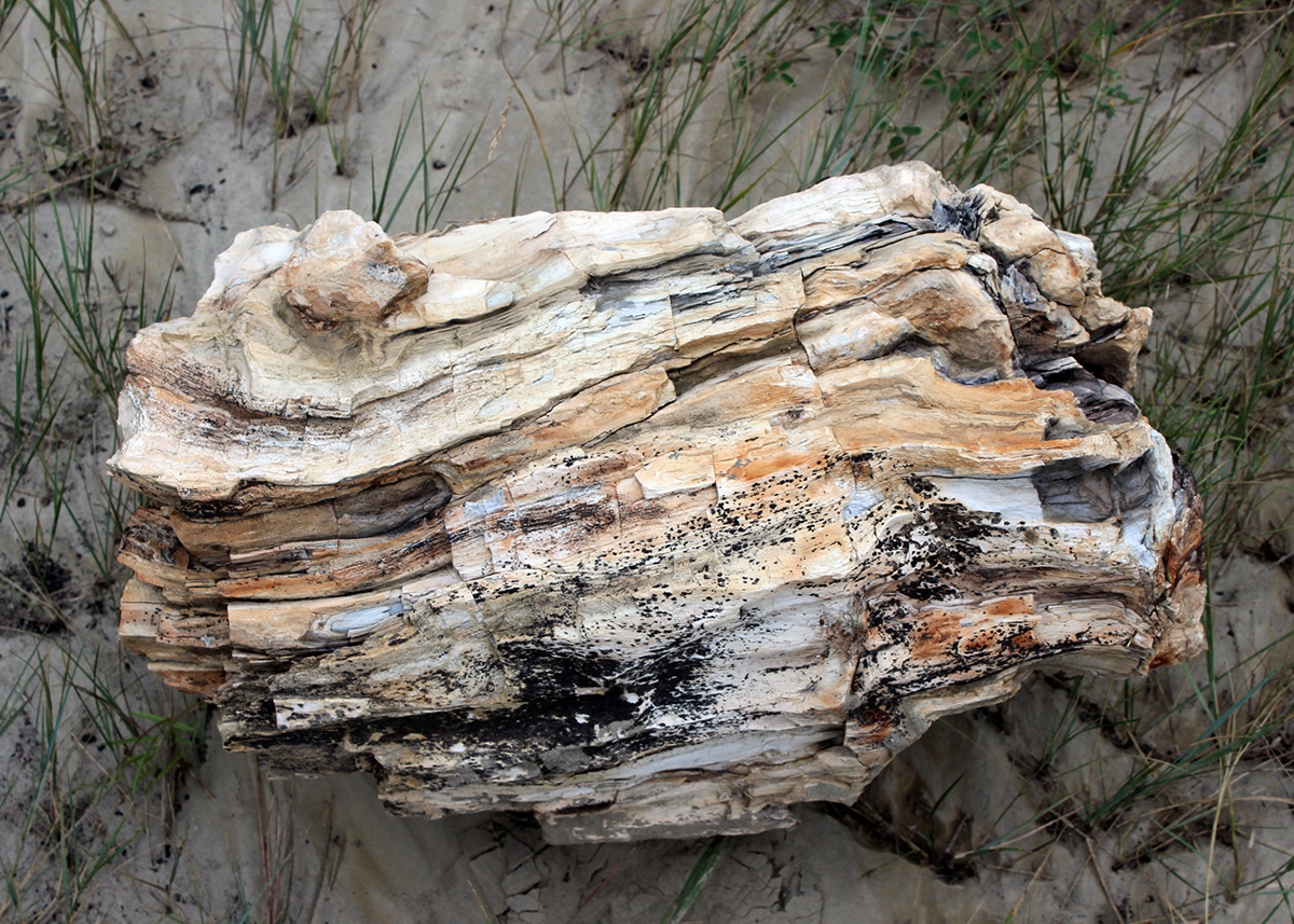 OITP Theodore Roosevelt Petrified Wood web.jpg