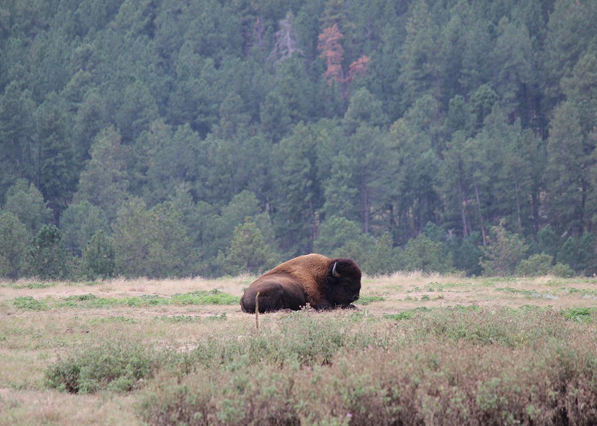 OITP Wind Cave Bison web.jpg