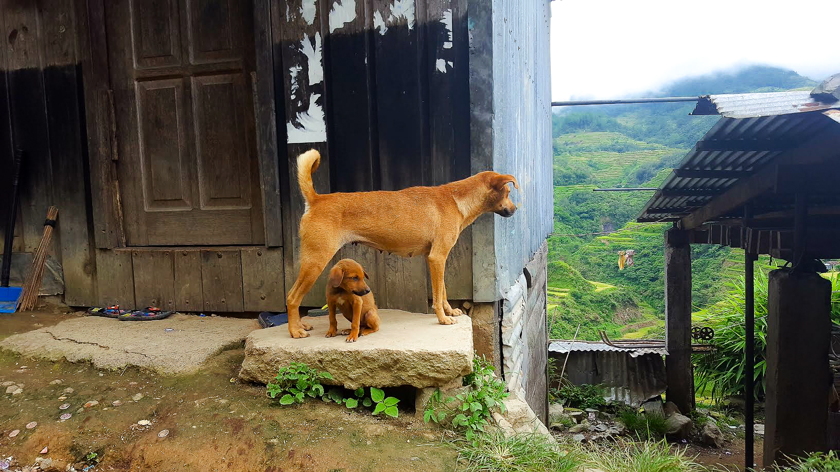 Even the dogs stop to admire the Banaue rice terraces