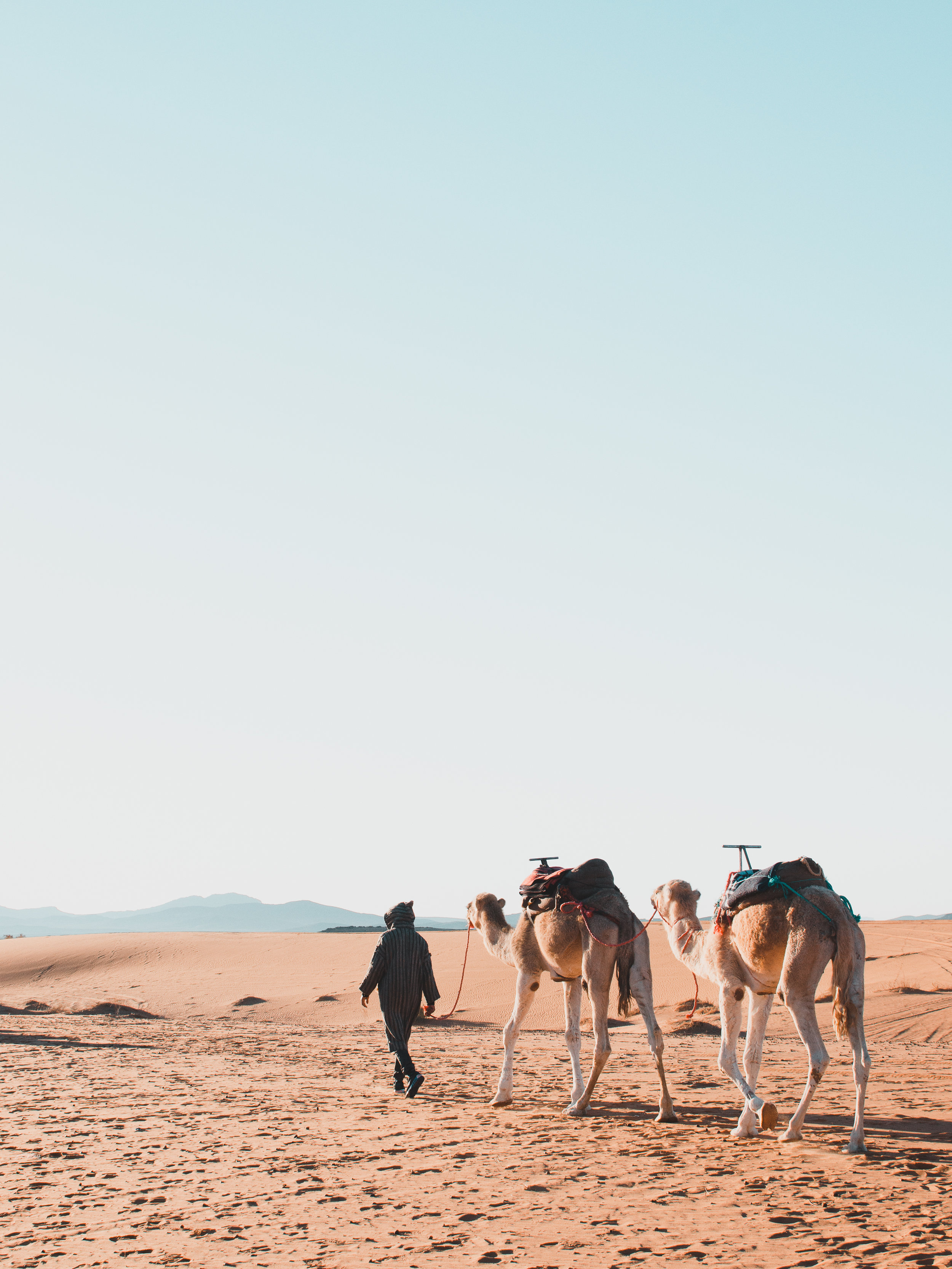 A Berber man leads his camels to food in the Sahara Desert