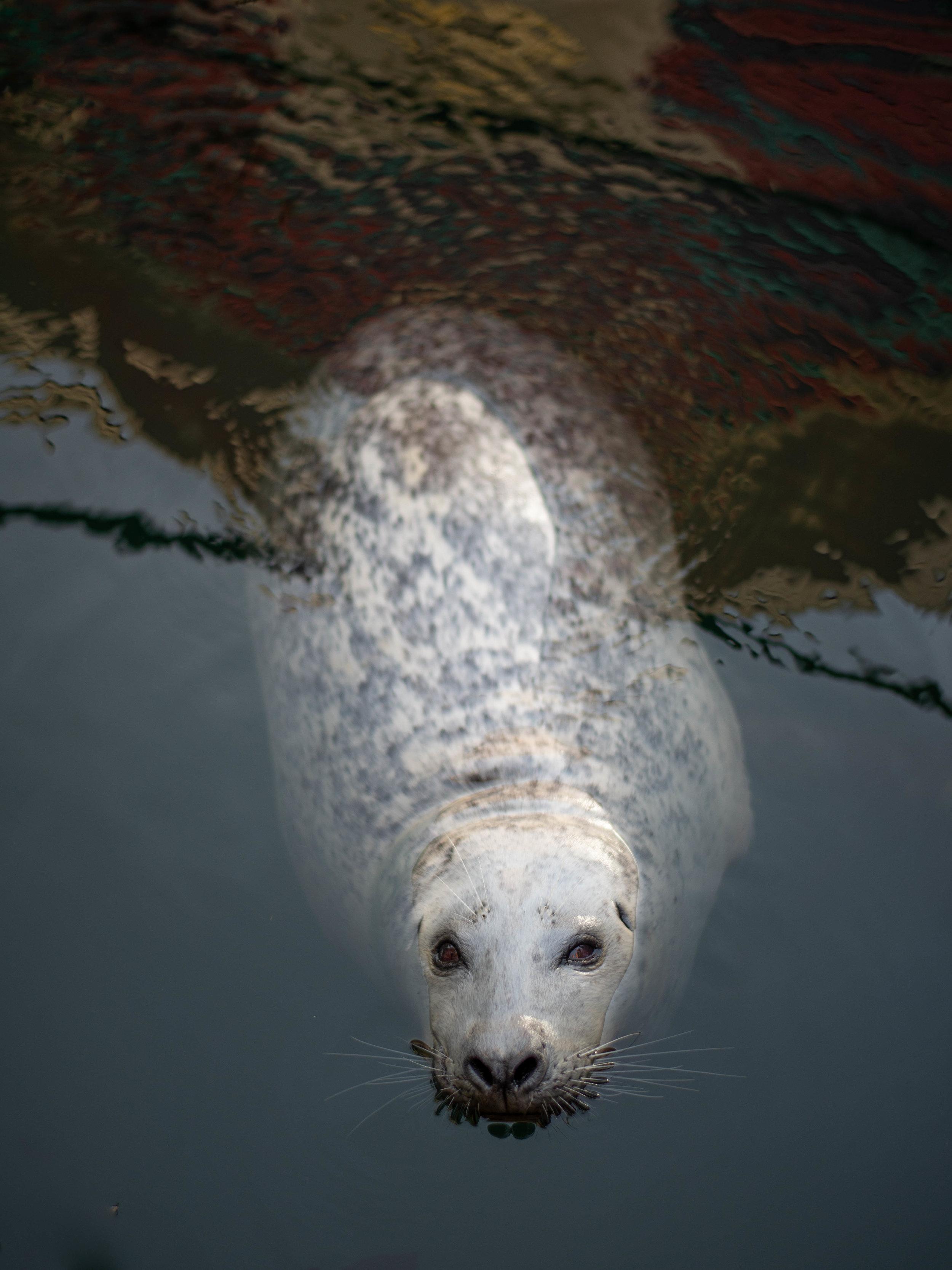 Harbor seal at Victoria's Fisherman's Wharf