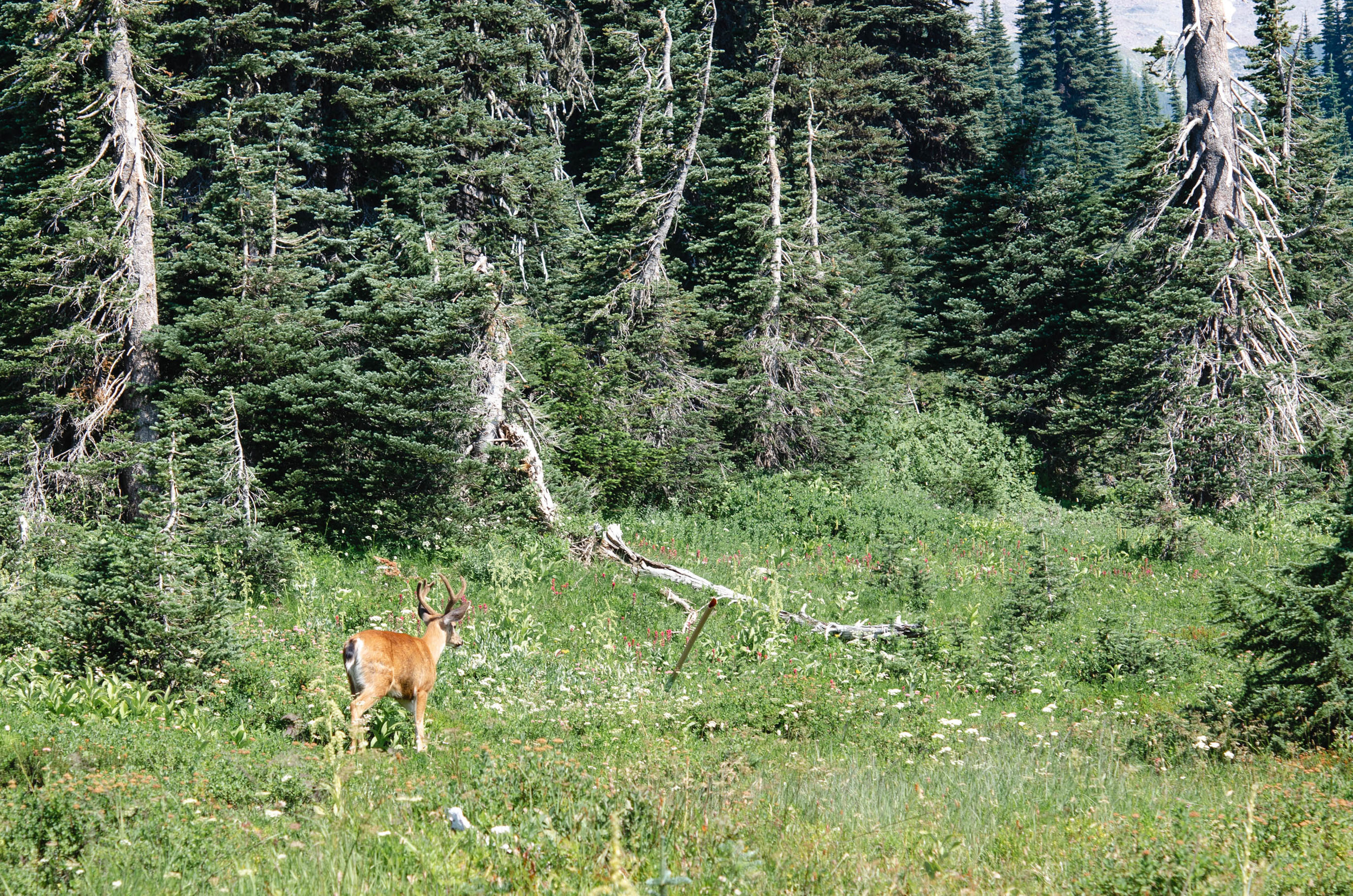 A deer walking around the meadows at Paradise, Mt. Rainier