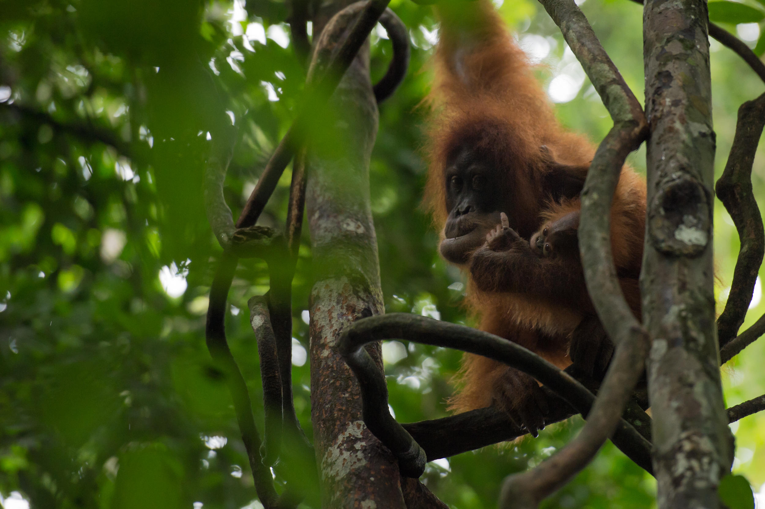 Orangutan Trekking in the Jungles of Sumatra - Photo by Timo Stahl (Instagram: @stahlson_vom_dach)