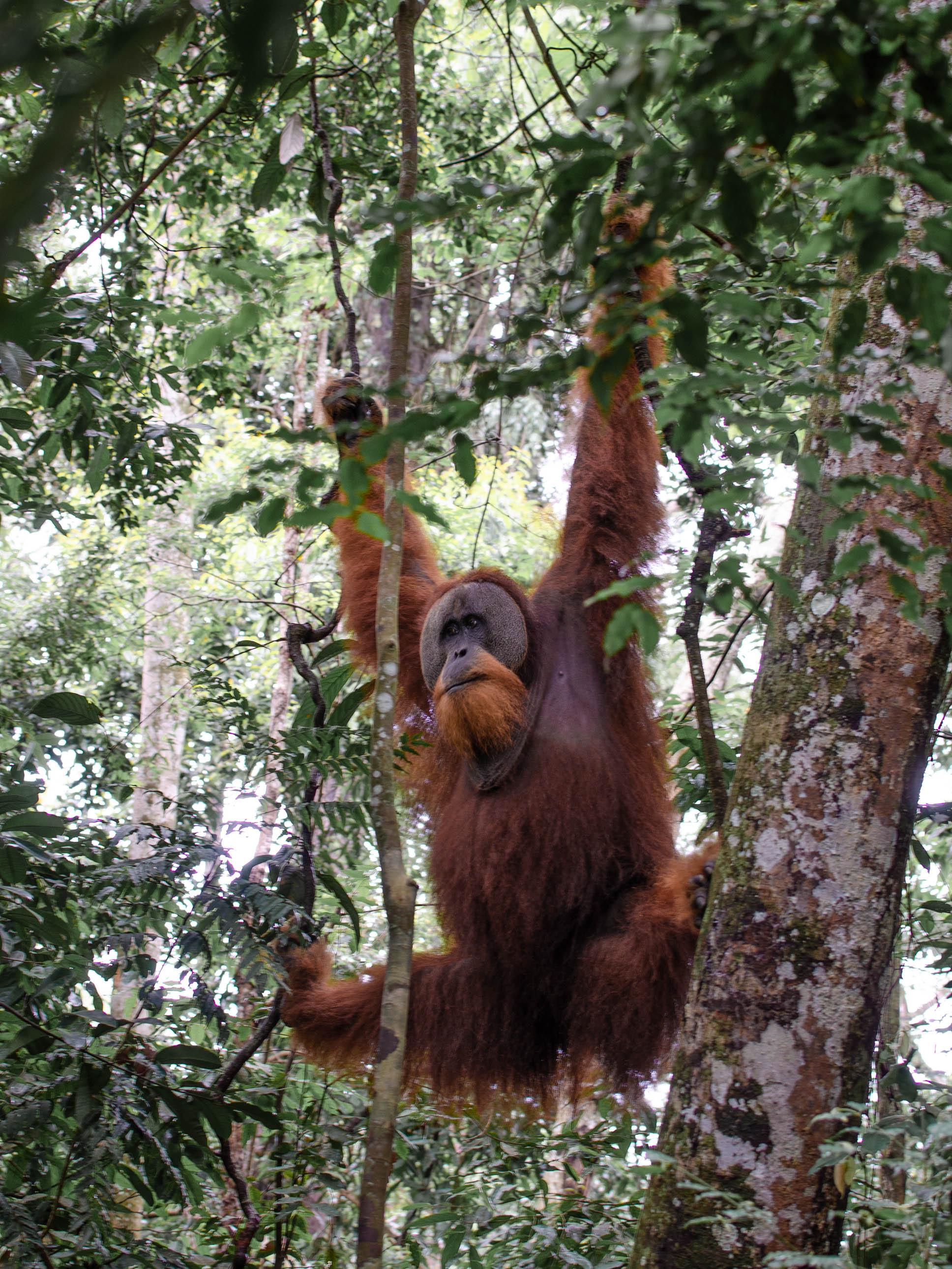 Orangutan Trekking in the Jungles of Sumatra