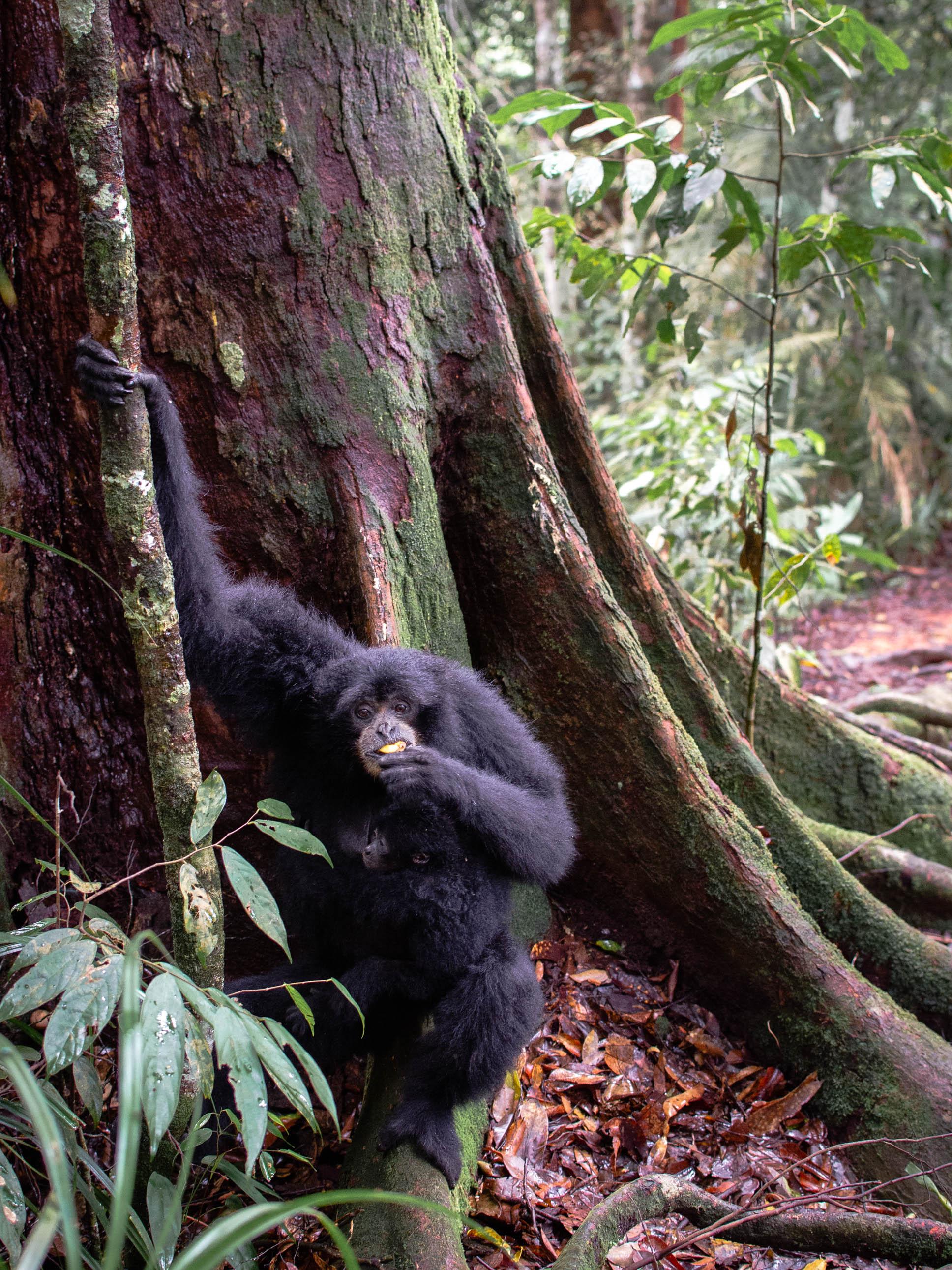 Mother siamang monkey and her baby | Orangutan Trekking in the Jungles of Sumatra