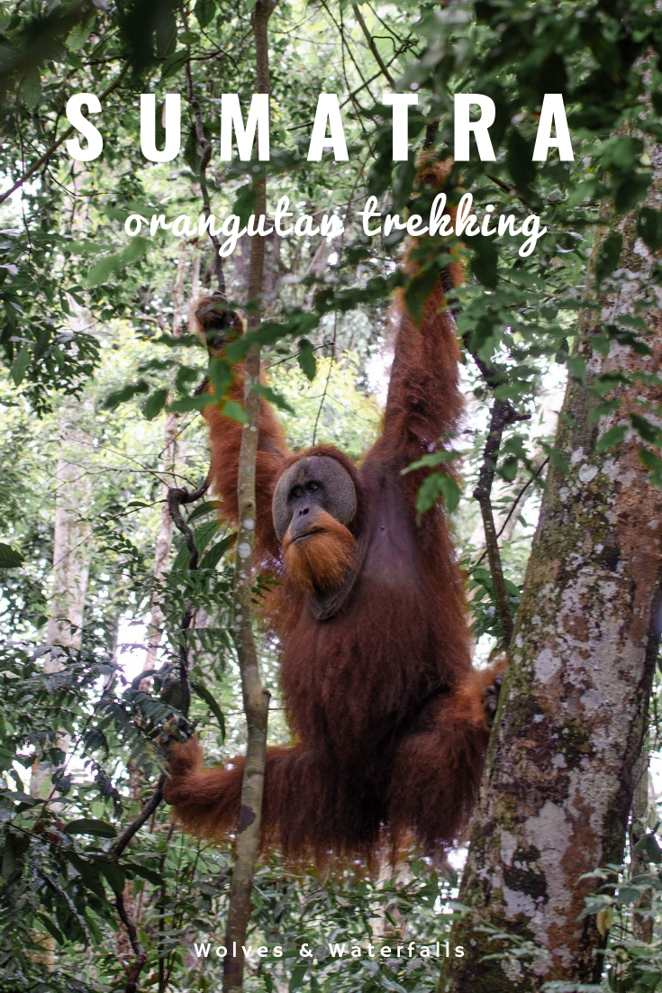 Orangutan Trekking in the Jungles of Sumatra | Everything you need to know to plan your trip to Bukit Lawang in Indonesia