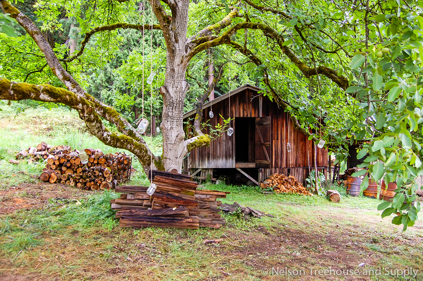 Butternut tree and old barn