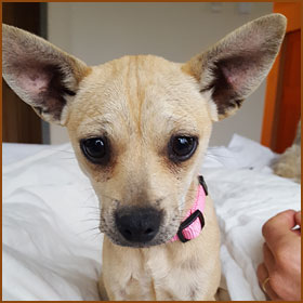 Frida Nelson    Meet Frida, the newest addition to the Nelson family! Pete found Frida while building in Texas Hill Country. Pete has a pattern of falling for dogs on treehouse builds; Frida is the second Chihuahua Pete has brought home from a job site! Frida is the squirmiest cuddle bug in all the land. She likes to curl up on your lap, in your bed, on your chair—basically, wherever you happen to be—at all times. She sleeps under the covers at the foot of the bed, and enjoys chewing on flip flops and pillows. While occasionally awkward in her movements, Frida can execute some seriously high hops!