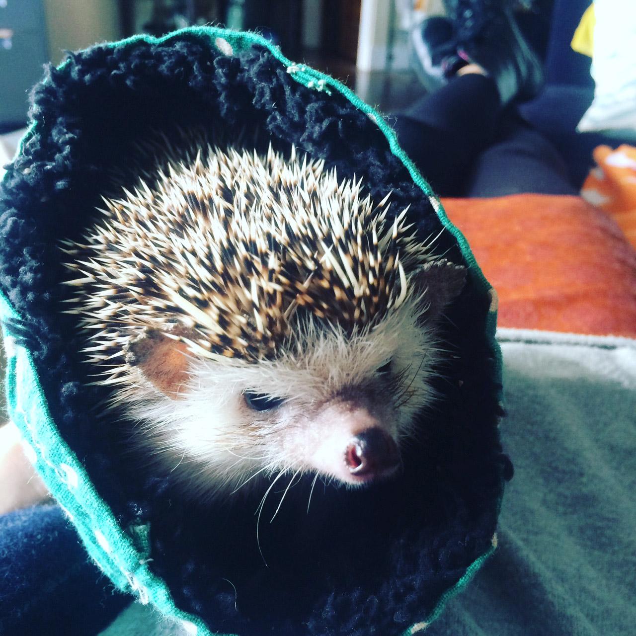 Frenchy the Hedgehog. Photo courtesy of Daniel Ash.