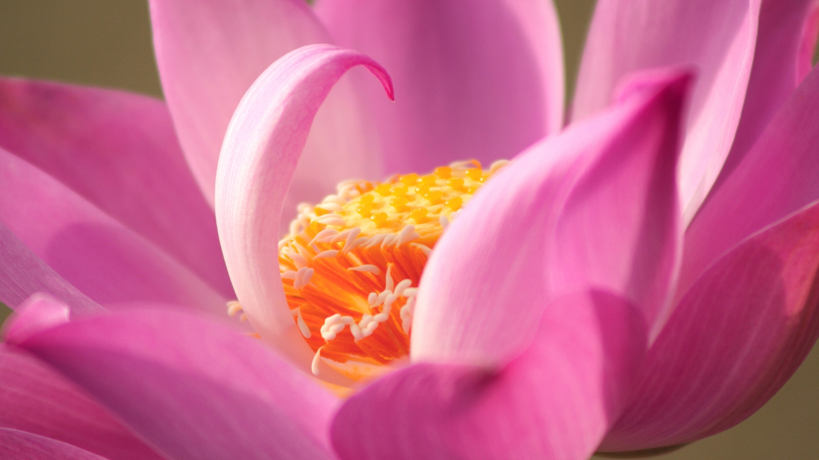 Pink Lotus Closeup.jpg